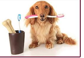 Чистка зубов без наркоза маленькой собаке (вес до 10 кг, рост до 30 см в холке)